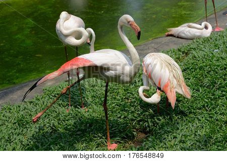 Group of a greater flamingo on the bank of a pond