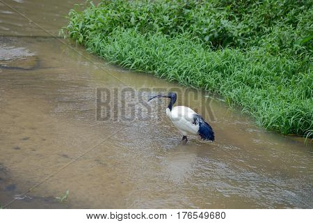 Sacred ibis is walking through the shallow river