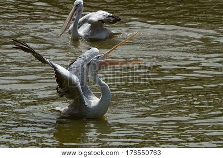 photo of a Pink backed Pelican feeding
