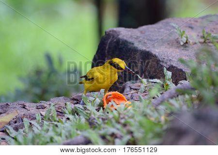 The black-naped oriole is eating papaya peel