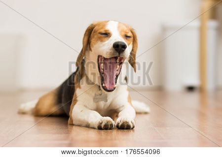 Puppy Beagle 7 months lying on the floor opening the mouth