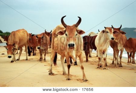 cows blocking beach in vietnam poster