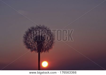Sunset whit dandelion, close up photography whit dandelion