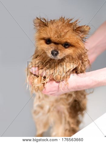 Well groomed dog. Grooming. Grooming of a pomeranian dog. Funny pomeranian in the bath. Dog taking a shower. Dog on white background.