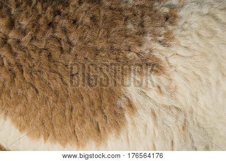 Close-up of brown and white wool texture