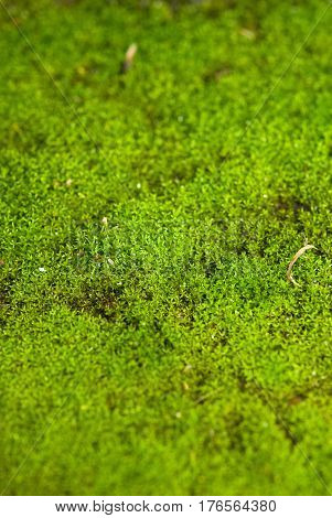 A Close-up of freshed and moist moss texture