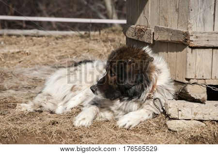 Tied with iron chain mountain shepherd guardian dog resting in rural village garden by wooden doghouse