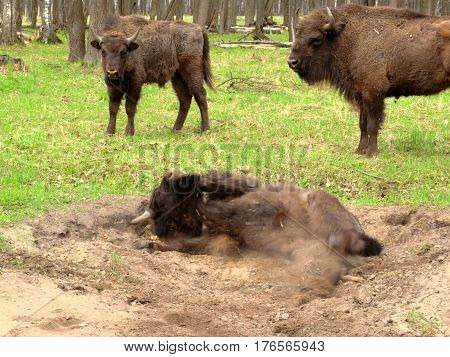 Bison cleans the skin and wool by rolling in the sand. Two other bisons look at it. The photo was made in a national park.