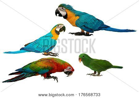 Colorful Parrots Isolated On White Background.