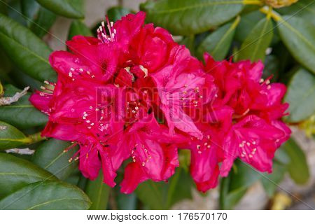 Closeup photo of a beautiful red Rhododendron.