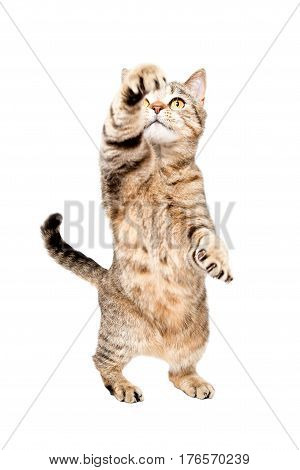 Playful cat Scottish Straight, standing on hind legs, isolated on white background