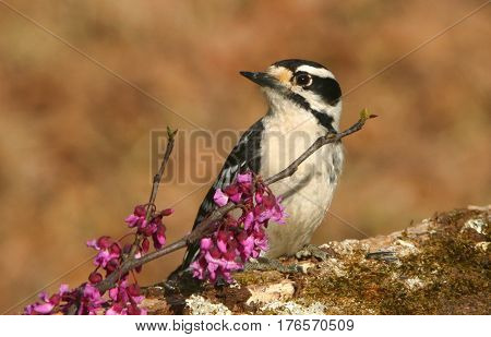 Close-up of female downy woodpecker perched on tree branch with pink redbud blooms on blurred brown background.