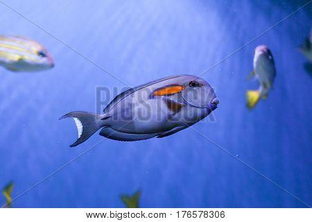 Orangespot surgeonfish floats underwater acanthurus olivaceus close up