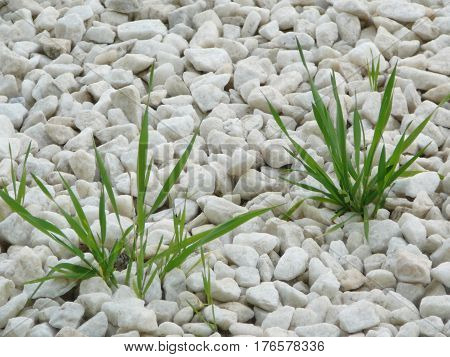 Grass Shoots Through White Pebbles