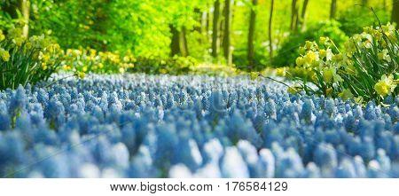 Amazing stream of blooming blue muscari flowers in the famous park Keukenhof, Netherlands. Muscari flowers in Keukenhof. Keukenhof park in Netherlands. Blue Grape Hyacinth Muscari flower.