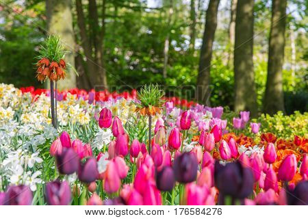 Flower bed of colourful tulips in spring. Keukenhof park, Netherlands. Colorful tulips in the Keukenhof park, Netherlands. Fresh blooming tulips in the spring garden. Blooming flowers in Keukenhof.