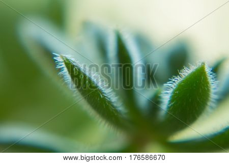 Macro of a Succulent plant with blurred background