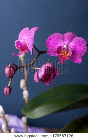 Dark purple blue orchid. Orchid blooming and buds. Orchid is queen of flowers