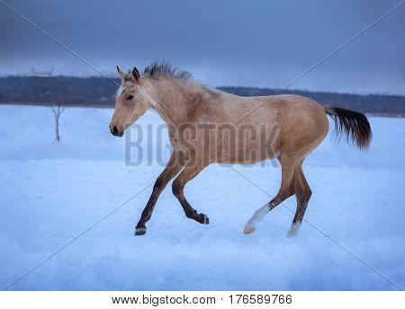 Palomino foal runs on snow in winter on blue sky