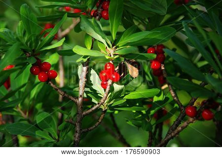 Poisonous red fruits of Daphne mezereum .