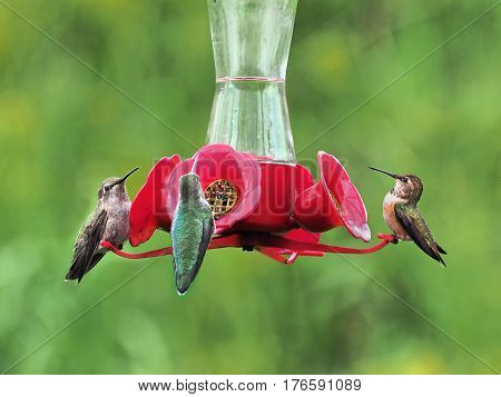 Three Anna Hummingbird feeding from the feeder