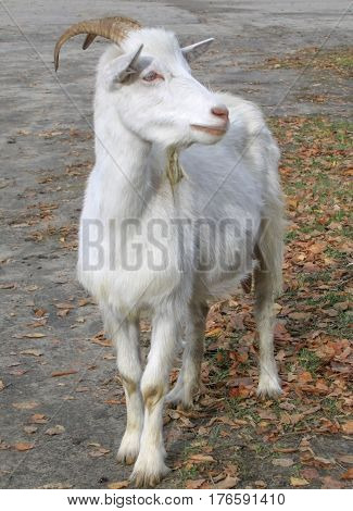 White goat standing at full height on the road.
