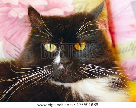 portrait of nice black cat with big white whiskers
