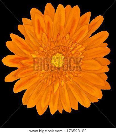 Orange gervera flower on black background painting in watercolor