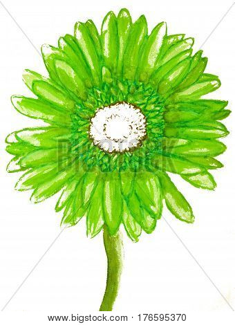 Green gerbera on white background watercolor illustrati8on.