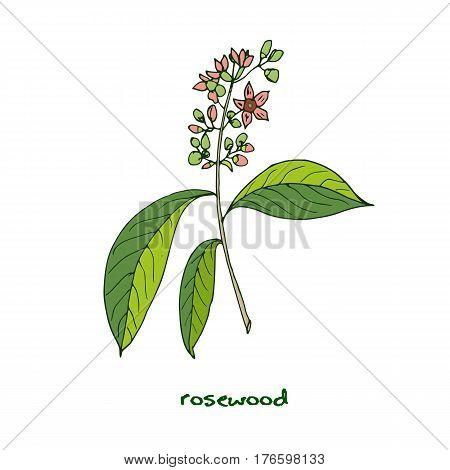 Aniba rosaeodora, or Brazilian rosewood, or rosewoodtree. Vector illustration