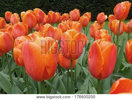 Vibrant Orange Color Blooming Tulip Flowers in Spring Shower, Keukenhof, Netherlands