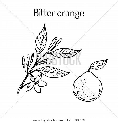 Bitter orange, Seville orange, sour orange, bigarade orange, or marmalade orange, twig with flowers. Vector illustration poster