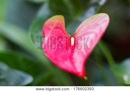 Heart shaped Anthurium andraeanum (Araceae family). Natural background with bright red flower.