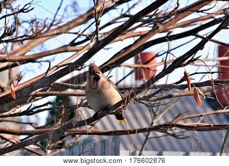 Waxwing on branch of mountain ash on blurred background