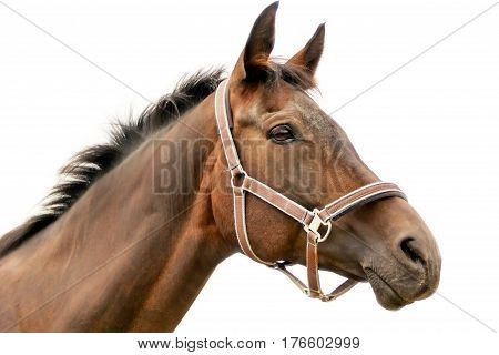 Hippodrome brown head horse in harness on white