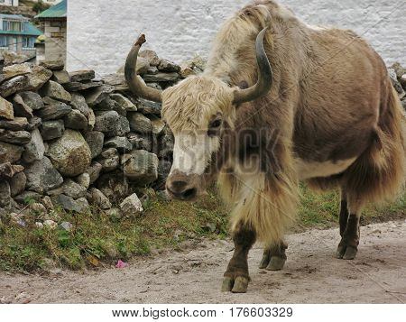 Brown white yak photographed in Khumjung Nepal.