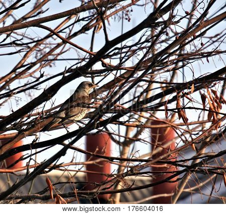 Fieldfare in a mountain ash. the Latin name of this bird - Turdus pilaris. It is not visible among the branches. Protective coloration helps him.