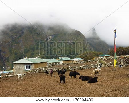 Yak herd and houses in Phortse Everest National Park Nepal.