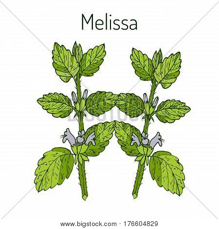 Melissa, known as lemon balm, common balm, or balm mint - aromatic kitchen and medicinal herb. Vector illustration