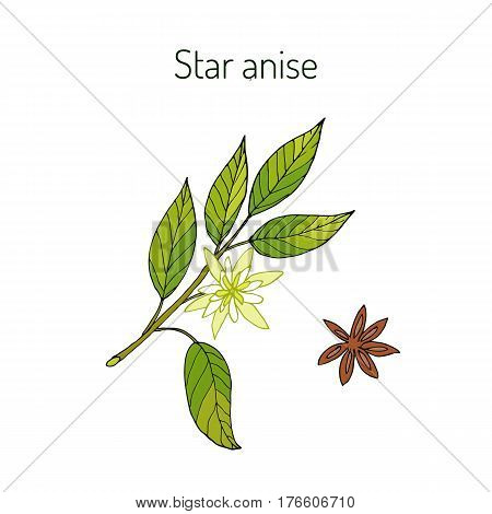 Star anise, star anise seed, or Chinese star anise illicium verum , aromatic plant. Vector illustration