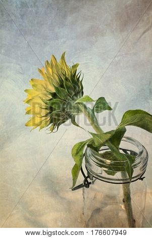 Artistically textured photo of sunflower in vintage glass canning jar.