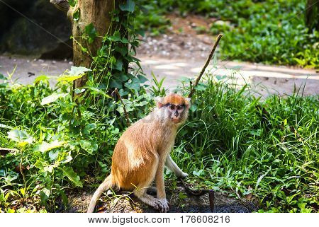 The young patas monkey in the grass and looking at the camera