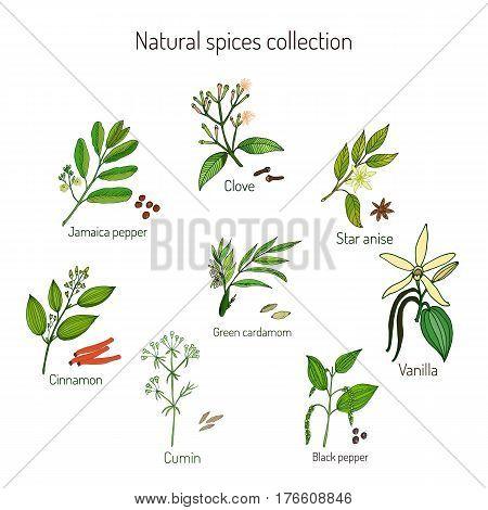 Natural spices collection jamaica pepper, clove, cinnamon, cumin, green cardamon, black pepper, star anise, vanilla Vector illustration