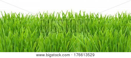 Green spring grass isolated on white background