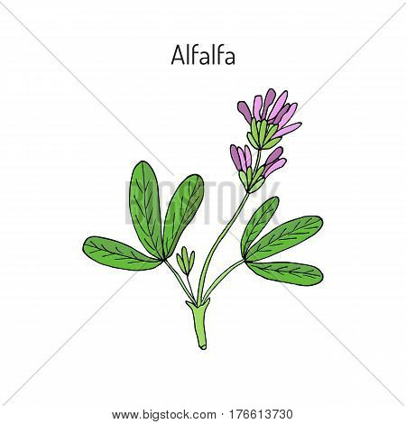 Alfalfa Medicago sativa . Hand drawn botanical vector illustration