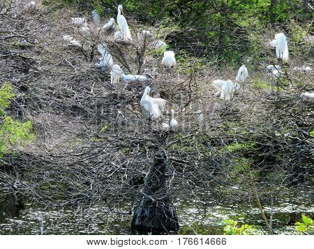A group of herons with some chicks living in a water filled  sink hole in Florida.