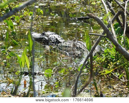 An Alligator resting in a Florida swamp hidden along the  shore line.