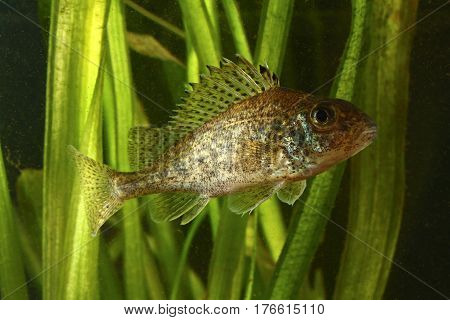 Ruffe Gymnocephalus cernuus fish in the lake
