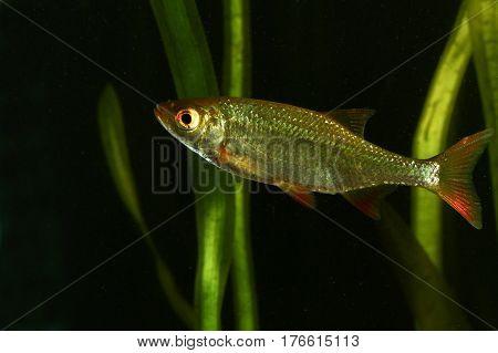 Common rudd Scardinius erythropthalmus fresh water fish