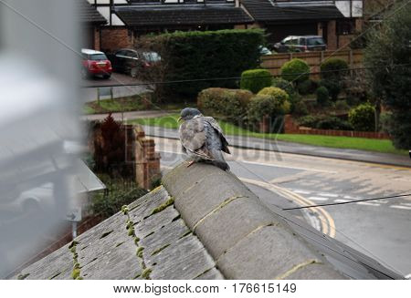Pigeon sat on roof of suburban house